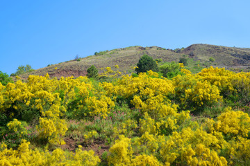 Yellow flowering bushes Cytisus scoparius on Vesuvius volcano next to Naples. Italy