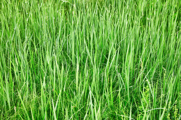 Green tall grass - natural background