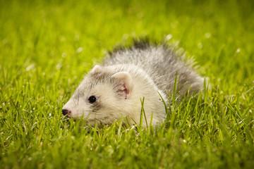 Pretty ferret baby on garden lawn