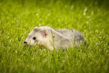 Pretty ferret baby posing on garden lawn