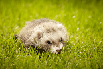 Ferret baby in nice summer day