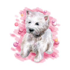 Watercolor closeup portrait of West Highland White Terrier breed dog isolated on pink background. Scotland small white coated Westie dog. Hand drawn home pet. Greeting birthday card design. Clip art