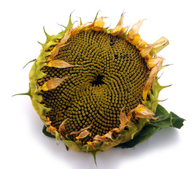 Aluminium Prints Sunflower Hướng dương ప్రొద్దు తిరుగుడు சூரியகாந்தி Helianthus annuus Ayçiçeği Floarea-soarelui Słonecznik zwyczajny Girasole Girasol Sonnenblume دوار الشمس Tournesol חמנית מצויה 向日葵 Sunflower Zonnebloem 해바라기