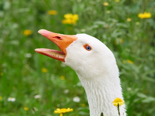 portrait of a white geese with beak open. Grass and yellow flowers in background.