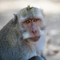 Monkey - macaca fascicularis