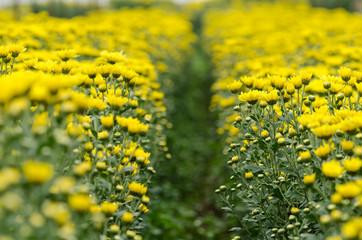Autumn flower, yellow Chrysanthemum flower in the garden