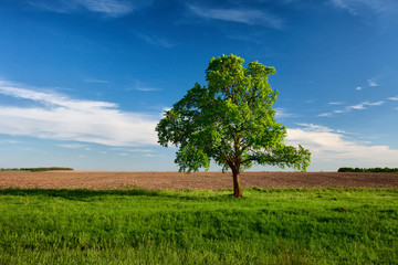 Lonely tree on near the arable land
