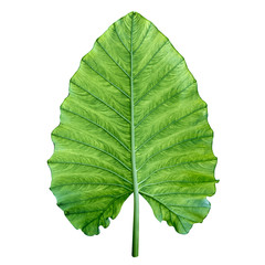 One big green tropical leaf. Isolated over white.