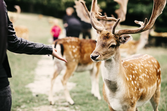 Midsection of woman holding out palm towards deer at zoo