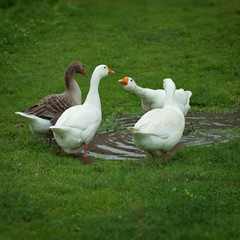 Domestic geese drinking water from puddle