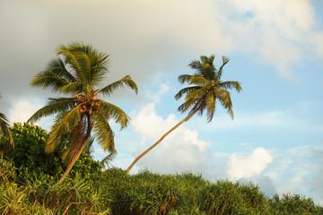 Coconut palms on the tropical ocean coast