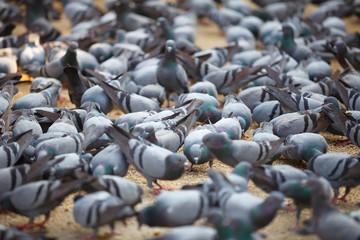 Fed pigeons at the square. Jaipur, India