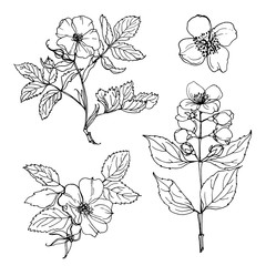 Set of flowers painted line on a white background. Vector Sketch. Flowers on a branch of wild rose. Jasmine. Briar