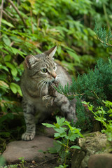 cat hunting for a bird prey, a bird in the mouth of a cat, the v