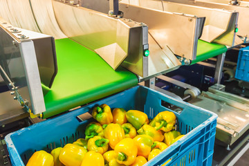 Sorting of yellow bell peppers during harvest