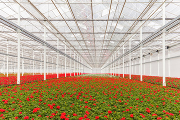 Blooming geranium plants in a greenhouse
