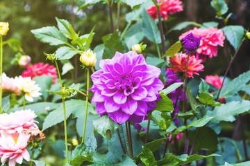 Flower purple chrysanthemum close up - floral background