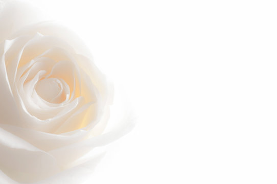 rose close up on background