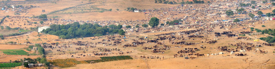 Thousands of Camels and Other Livestock at Pushkar Camel Fair in