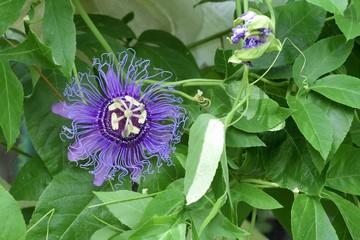 May-pop Purple Passion flower(Passiflora Incarnata)
