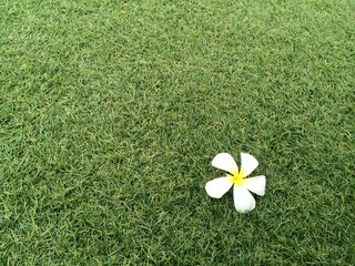Top right Plumeria flowers  on green lawns with light and copy-space