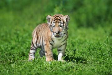 siberian tiger cub posing on grass