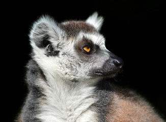 Ring-tailed lemur against a black background