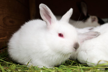 white rabbit with red eyes sitting on a bed of grass and looks at us