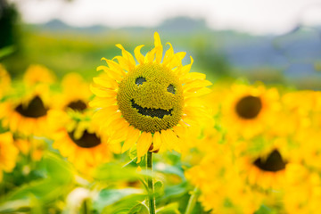 Smiling sunflower in summer