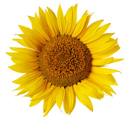 Flower of sunflower isolated on a white background.