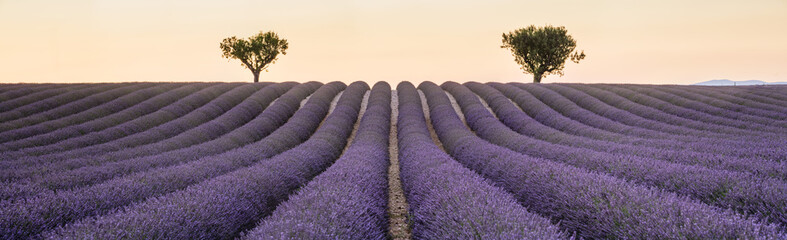 panorama with two tree and lavander