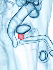 medically accurate illustration of the prostate