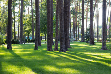 Sunlight in pine stems in city park