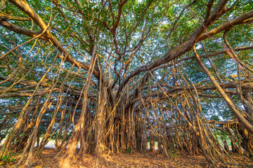 Tree of Life, Amazing Banyan Tree..