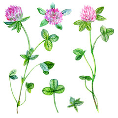 Watercolor red clover, shamrock wild field flower isolated on white background, botanical hand drawn illustration for design package tea, cosmetic, medicine, greeting card, wedding invitation, textile