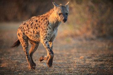 Wall Murals Hyena Hyena running in the Kruger National Park - South Africa