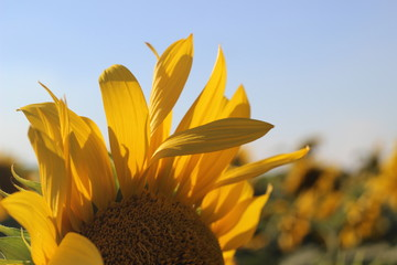 Yellow sunflower petals with blue sky