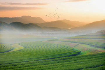 Tea filed with landscape view when sunrise.