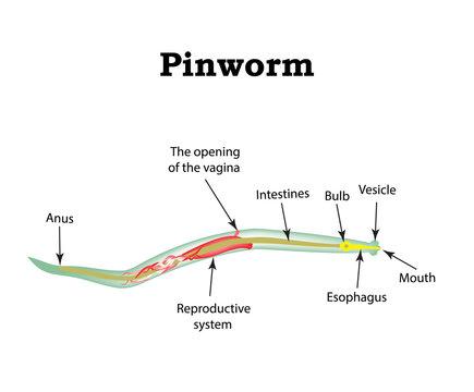 pinworm és ascaris ugyanaz)