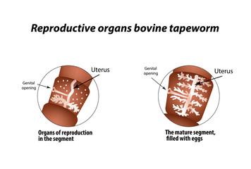 The structure of the reproductive organs of bovine tapeworm. Infographics. Vector illustration on isolated background