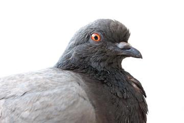 Zwarte duif op een witte achtergrond