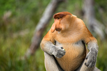 Proboscis Monkey (Nasalis larvatus) endemic  of Borneo.  Male portrait with a huge nose made in Labuk Bay Proboscis Monkey Sanctuary, Sarawak.