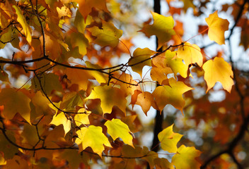 Colorful autumn leaves - sunny bright autumn look-and-feel