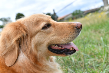 Closeup of golden retriever dog in yard