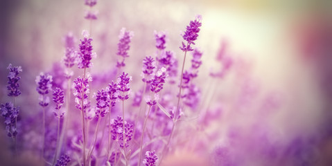 Soft focus on lavender due to the use of color filters - lavender in my flower garden