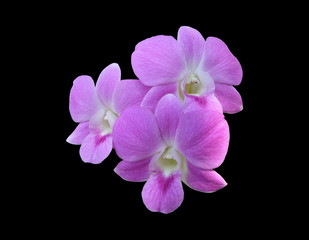 Group of three Pale pink dendrobium orchid flowers isolated with clipping path