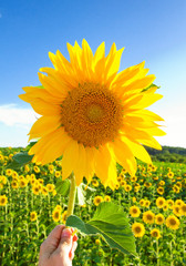 Wall Mural - Sonnenblume in der Hand - Happy sunflower in the hand