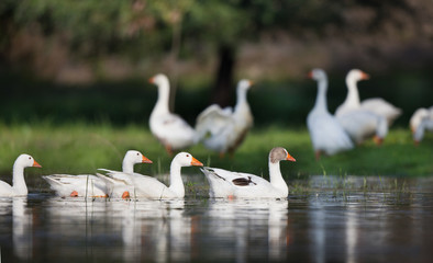 Domestic geese flock on the lake