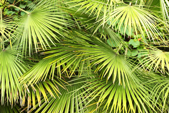 Dwarf Fan Palm (Chamaerops humilis) leaves as background