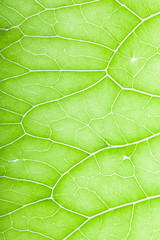 Texture of fresh green leaf for natural background